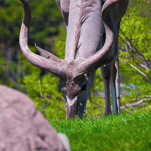 Grazing Gazelle