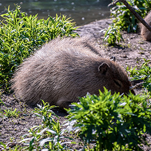 Sleeping Capybara